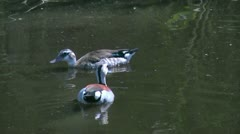 Ringed Teal duck female Stock Footage