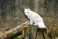 white artic fox - stock photo
