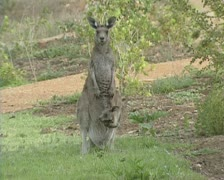 Eastern grey kangaroo with joey baby in pouch stands - on camera Stock Footage
