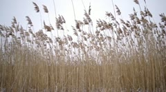 River cane during the winter period Stock Footage