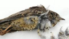 Dead bird. Mistle thrush (Turdus viscivorus) lying in the snow. Stock Footage