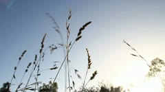 Growing wheat Stock Footage