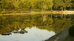 Ginkgo forest reflection in water. Stock Footage