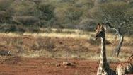 Elegant walk of a giraffe Stock Footage