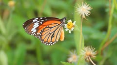 Butterfly on flower - stock footage
