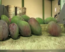Mangoes fruits in packaging line Stock Footage