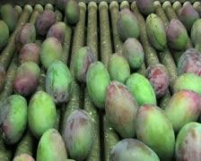 Mangoes fruit in packaging line 3 Stock Footage