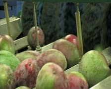 Mangoes fruit in packaging line 8 Stock Footage