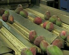 Mangoes fruit in packaging line 9 Stock Footage