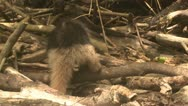 Stock Video Footage of P02652 Central America Anteater Eating Ants