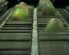 Mangoes fruit in packaging line12 Stock Footage