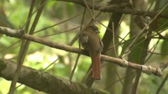 P02656 Trogon Bird in Costa Rica Rainforest Stock Footage