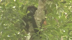 P02664 Howler Monkey at Corcovado National Park in Costa Rica Stock Footage