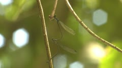 P02655 Mating Damselflies in Costa Rica Jungle Stock Footage