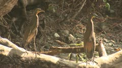 P02658 Tiger-striped Herons in Costa Rica Rainforest Stock Footage