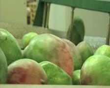 Mangoes fruit in packaging line16 Stock Footage