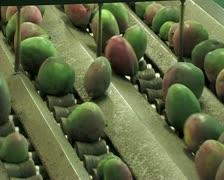 Mangoes fruit in packaging line 18 Stock Footage