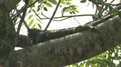 P02692 Adult Iguana on Tree Branch in Costa Rica Stock Footage
