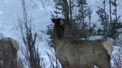 P02693 Elk Feeding on Tree Buds at Yellowstone Stock Footage