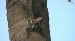 P02686 Basilisk or Jesus Christ Lizard Stock Footage