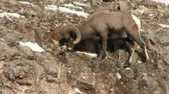 P02695 Bighorn Sheep Ram Feeding on Side of Cliff Stock Footage