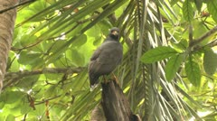 P02683 Black Crab-eating Hawk in Costa Rica Stock Footage