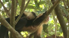 P02688 White-faced Capuchin Monkey in Central America Stock Footage