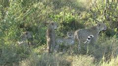CHEETAH MALES LAY WITH FEMALE - stock footage