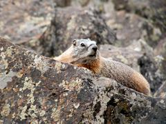 Yellow-bellied Marmot in Yellowstone NP Stock Photos