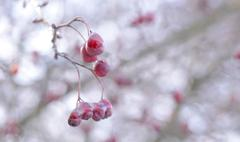 Red berries covered with ice Stock Photos