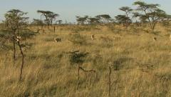 LION PRIDE IN GRASS Stock Footage