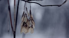 Forest snowfall - seed pod blowing on branch, close-up Stock Footage