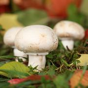Stock Photo of ripe mushrooms growing in a forest
