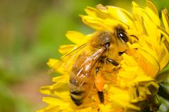 honey bee working hard on dandelion flower - stock photo