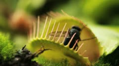 Carnivorous plant catch a fly Stock Footage