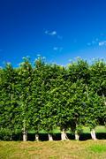 row of trees green wall - stock photo