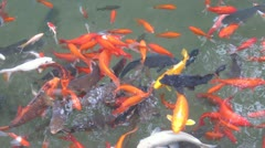 Goldfish and Carp in Chinese Park - In China - stock footage