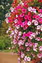 Stock Photo of pink petunias