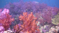 Beautiful Soft Coral Reef, Clip 1 of 3 - stock footage
