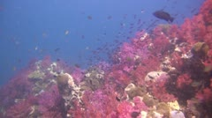 Beautiful Soft Coral Reef, Clip 3 of 3 Stock Footage