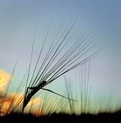 silhouette of wheat - stock photo