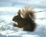 Stock Video Footage of Squirrel in winter