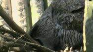 Great Horned Owl Walks Into Nest Shimmies Stock Footage