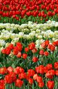 Stock Photo of red and white tulips