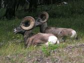 Bighorned sheep2 Stock Photos