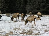 Elk2 Stock Photos