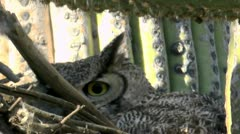 Great Horned Owl Leaves Nest Close Up Stock Footage