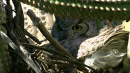 Great Horned Owl Lookout Stock Footage