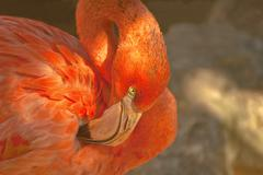 Stock Photo of portrait of a flamingo