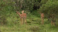 Deers feeding - stock footage